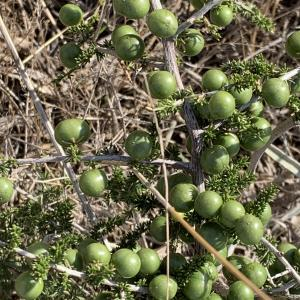 - Asparagus acutifolius L. [1753]