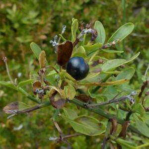 Photographie n°2450202 du taxon Jasminum fruticans L. [1753]