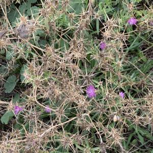 Photographie n°2450265 du taxon Centaurea calcitrapa L. [1753]