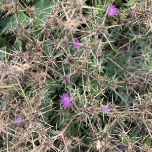 Photographie n°2450266 du taxon Centaurea calcitrapa L. [1753]