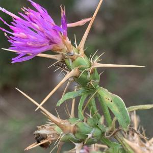 Photographie n°2450268 du taxon Centaurea calcitrapa L. [1753]