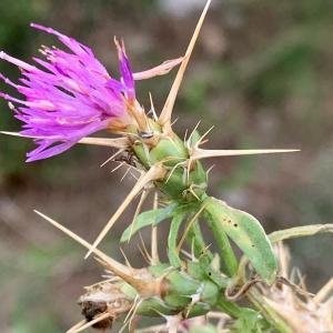 Photographie n°2450269 du taxon Centaurea calcitrapa L. [1753]