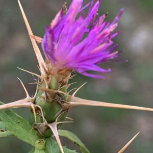 Photographie n°2450270 du taxon Centaurea calcitrapa L. [1753]