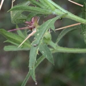 Photographie n°2450273 du taxon Centaurea calcitrapa L. [1753]