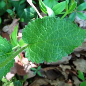 Photographie n°2450422 du taxon Melittis melissophyllum L. [1753]