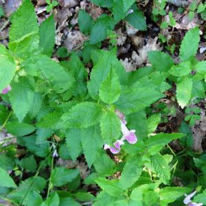 Photographie n°2450430 du taxon Melittis melissophyllum L. [1753]