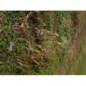 Panicum miliaceum subsp. ruderale (Kitag.) Tzvelev (Millet rudéral)