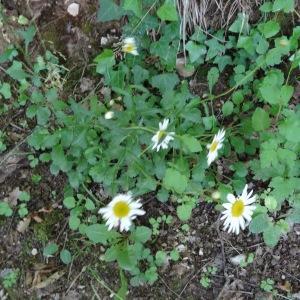 Photographie n°2450733 du taxon Leucanthemum vulgare Lam. [1779]