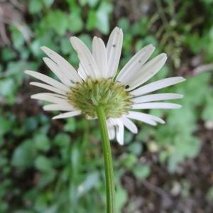 Photographie n°2450734 du taxon Leucanthemum vulgare Lam. [1779]