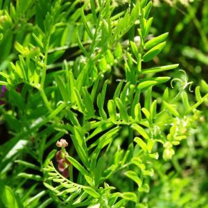 Photographie n°2450927 du taxon Vicia cracca L. [1753]