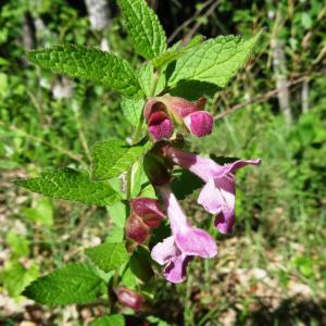 Photographie n°2450961 du taxon Melittis melissophyllum L. [1753]