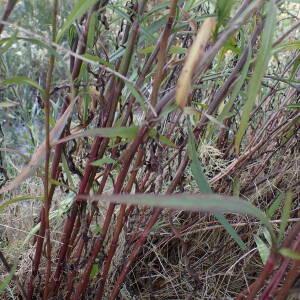 - Symphyotrichum subulatum (Michx.) G.L.Nesom