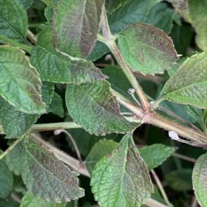 Photographie n°2451322 du taxon Lantana camara L. [1753]