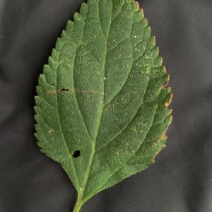 Photographie n°2451323 du taxon Lantana camara L. [1753]