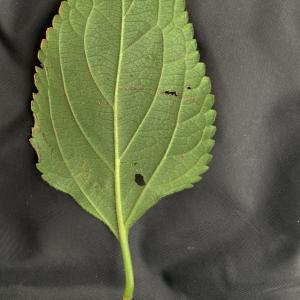 Photographie n°2451324 du taxon Lantana camara L. [1753]