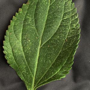 Photographie n°2451325 du taxon Lantana camara L. [1753]