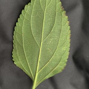 Photographie n°2451326 du taxon Lantana camara L. [1753]