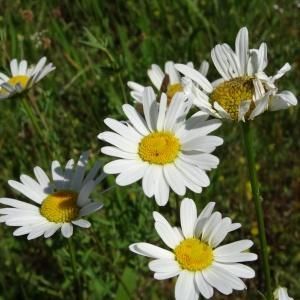 Photographie n°2451773 du taxon Leucanthemum vulgare Lam. [1779]