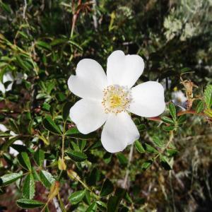 Photographie n°2451911 du taxon Rosa canina L. [1753]