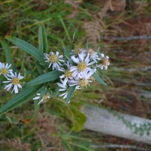 - Symphyotrichum x salignum (Willd.) G.L.Nesom [1995]