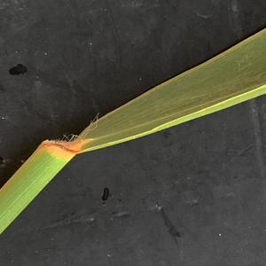 - Phragmites australis (Cav.) Trin. ex Steud. [1840]