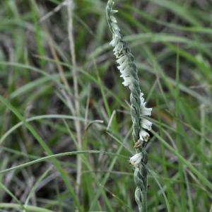 Photographie n°2452165 du taxon Spiranthes spiralis (L.) Chevall. [1827]