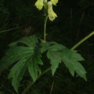 Photographie n°2452322 du taxon Aconitum lycoctonum subsp. vulparia (Rchb.) Ces. [1844]