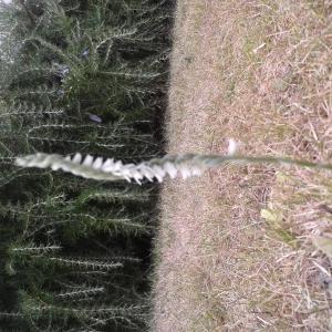 Photographie n°2452759 du taxon Spiranthes spiralis (L.) Chevall.