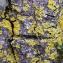 Candelaria concolor (Dicks.) Stein [nn58792] par Francoise PEYRISSAT le 29/10/2020 - Beaumont