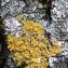autre lichen foliacé [nn0] par Francoise PEYRISSAT le 29/10/2020 - Beaumont