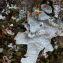 Parmelia sulcata Taylor s.l. [nn58889] par Francoise PEYRISSAT le 29/10/2020 - Beaumont