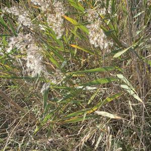 Photographie n°2453102 du taxon Phragmites australis (Cav.) Trin. ex Steud. [1840]
