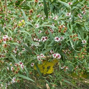 Photographie n°2453129 du taxon Symphyotrichum Nees