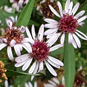 Photographie n°2453130 du taxon Symphyotrichum Nees