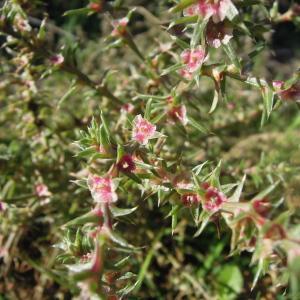 Photographie n°2453220 du taxon Salsola kali L.