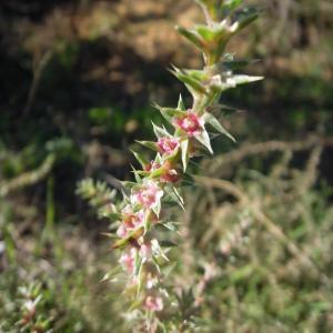 Photographie n°2453221 du taxon Salsola kali L.
