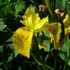 Photographie n°2453353 du taxon Iris pseudacorus L. [1753]