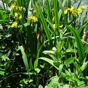 Photographie n°2453354 du taxon Iris pseudacorus L. [1753]