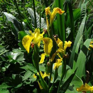 Photographie n°2453355 du taxon Iris pseudacorus L. [1753]