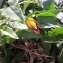Aristolochia altissima Desf. [1799] [nn132040] par Walid Nemer le 03/11/2020 - Irdjen