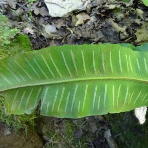 Photographie n°2454210 du taxon Asplenium scolopendrium L. [1753]