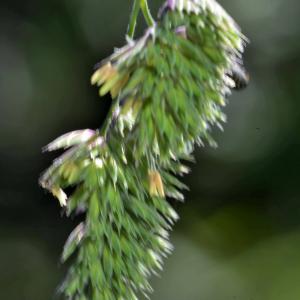Photographie n°2454484 du taxon Dactylis glomerata L. [1753]