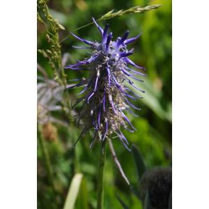 Phyteuma michelii All. (Raiponce de Micheli)