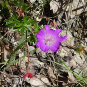- Salvia officinalis subsp. lavandulifolia (Vahl) Gams [1927]