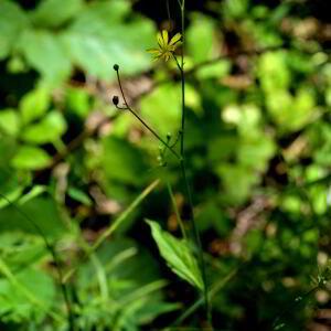 Photographie n°2455822 du taxon Crepis paludosa (L.) Moench [1794]