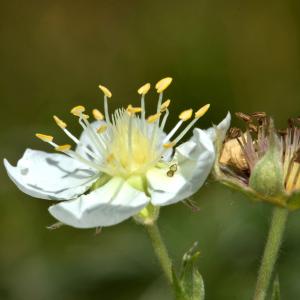 Photographie n°2455919 du taxon Potentilla alchemilloides Lapeyr. [1782]