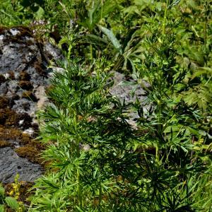 Photographie n°2456032 du taxon Aconitum napellus L. [1753]