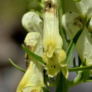 Photographie n°2456050 du taxon Aconitum lycoctonum subsp. vulparia (Rchb.) Ces. [1844]