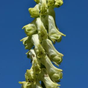 Photographie n°2456052 du taxon Aconitum lycoctonum subsp. vulparia (Rchb.) Ces. [1844]