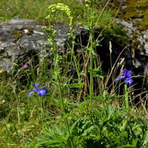 Photographie n°2456062 du taxon Aconitum lycoctonum subsp. vulparia (Rchb.) Ces. [1844]